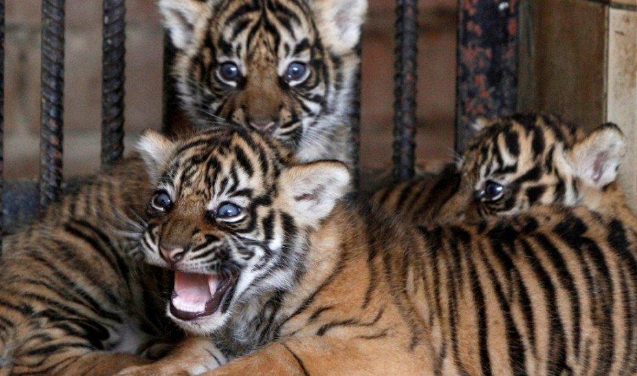 Κορωνοϊός: Τίγρης βρέθηκε θετική στις ΗΠΑ - Τι εκτιμούν οι ειδικοί