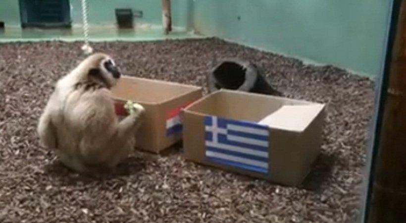 Μαϊμού προέβλεψε τον νικητή του Κροατία-Ελλάδα (vid)