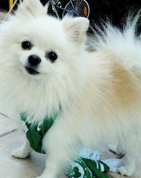 Ένα αξιολάτρευτο Pomeranian με το κασκόλ της Ομόνοιας