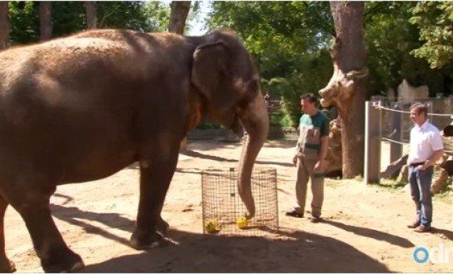 Η Ζέλα o ελέφαντας έβγαλε τον νικητή του Euro! (vid)